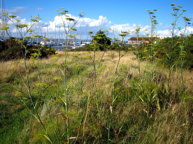 Fennel growing wild on the English south coast. Photograph by John Vallender © Historic England